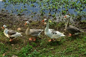geese-769018_640